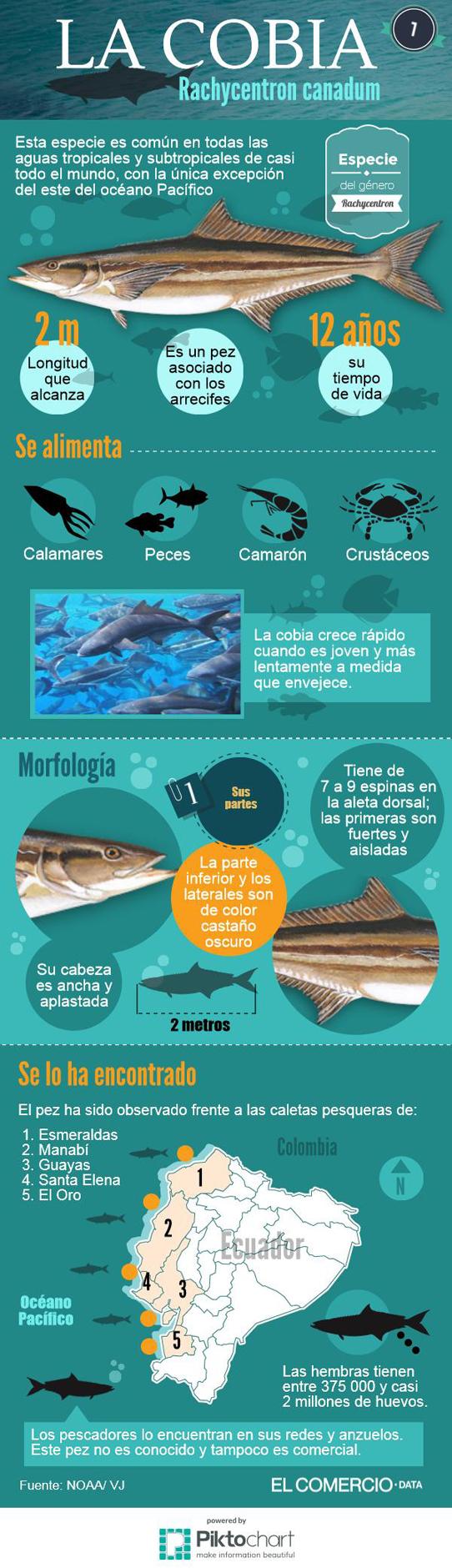 Infografía sobre la especie de pez cobia