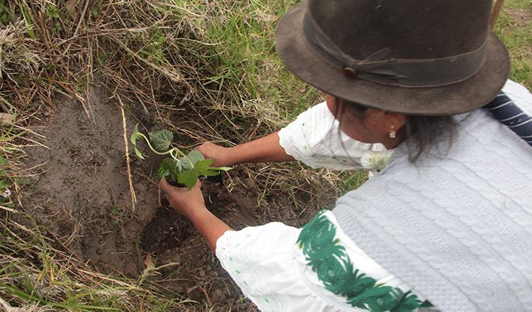 En un lote se puede sembrar hasta 56 plantas.