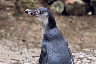 Pingüino Nico