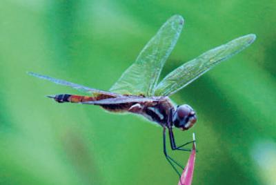 Especies diminutas