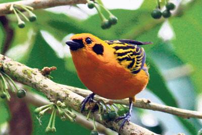 Aves multicolores que son un atractivo
