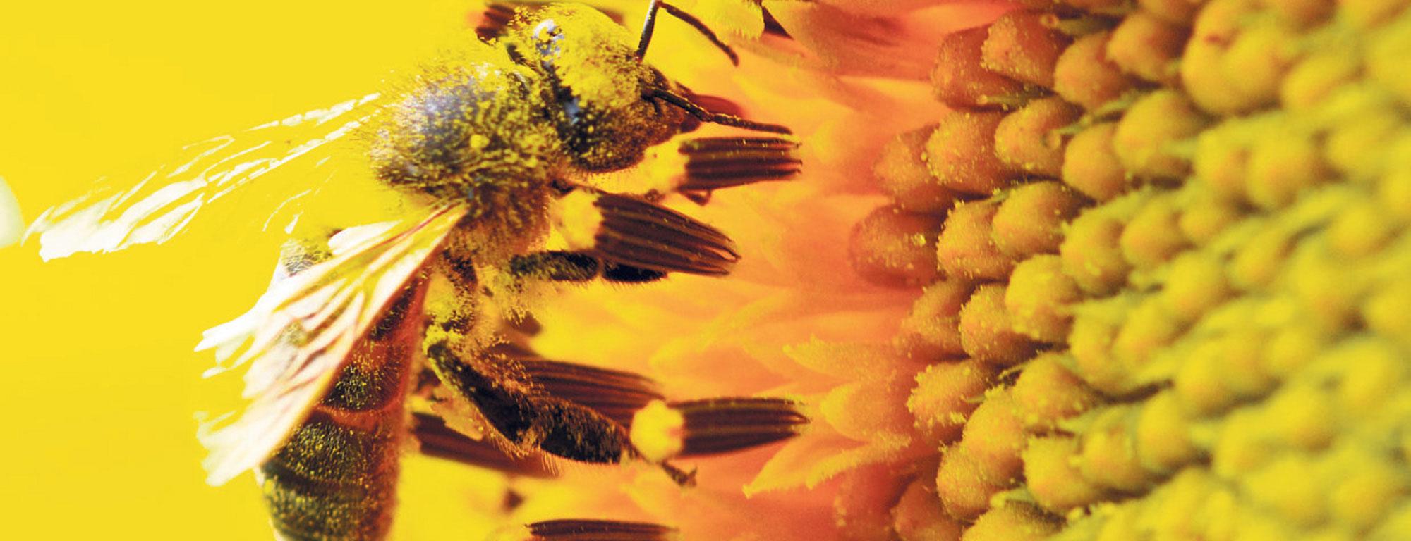 Las abejas son considerados polinizadores por excelencia.
