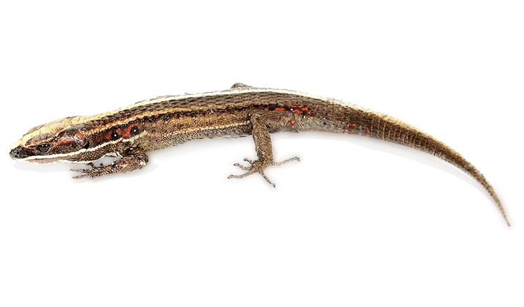 Ambiente / Nueva especie de lagartija