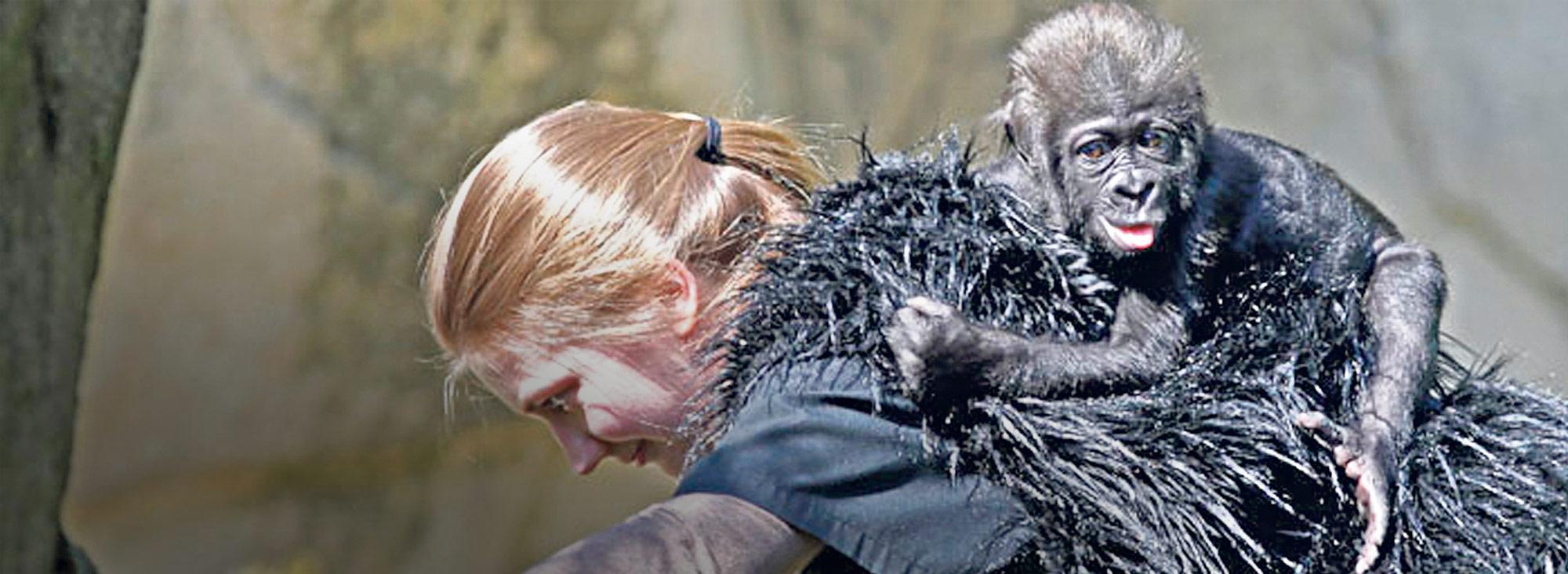Una de las cuidadoras, vestida con un chaleco que simula el pelo de un gorila adulto, carga en la espalda a la consentida del zoológico de Cincinnati, la bebé Kamina. Foto: AFP