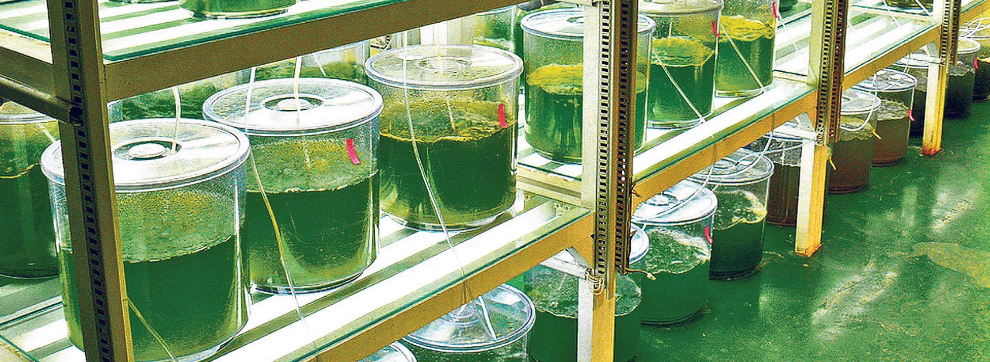 Algas biocombustibles