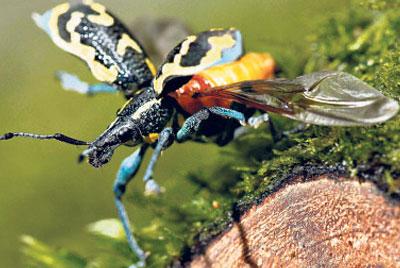 Escarabajo volando