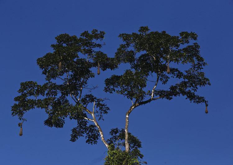 El árbol insignia
