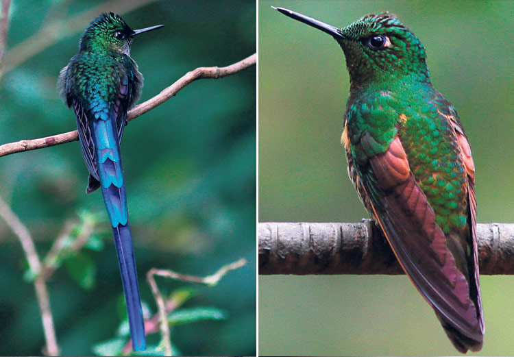 27 especies de colibríe