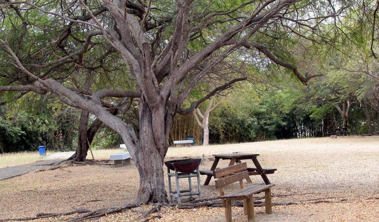 Árboles de algarrobo