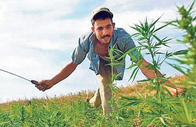 Cultivos de marihuana