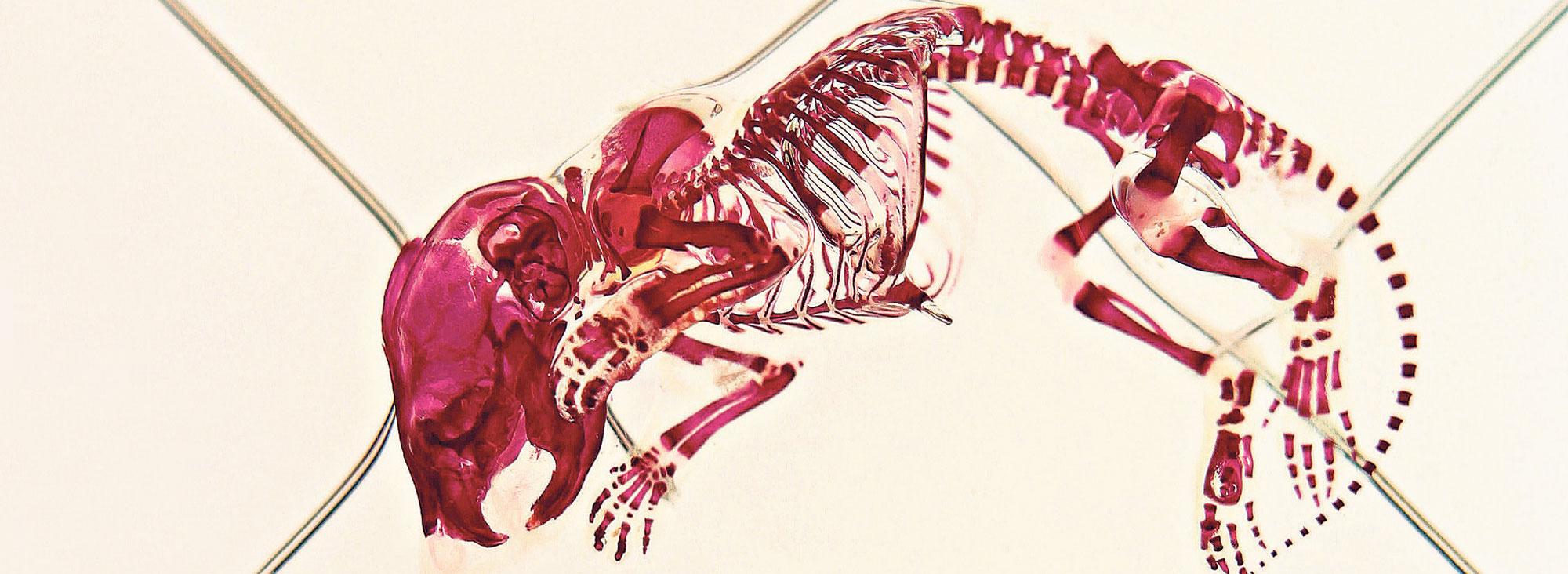 La imagen  muestra la radiografía de un ratón que es sometido a ensayos en un laboratorio.