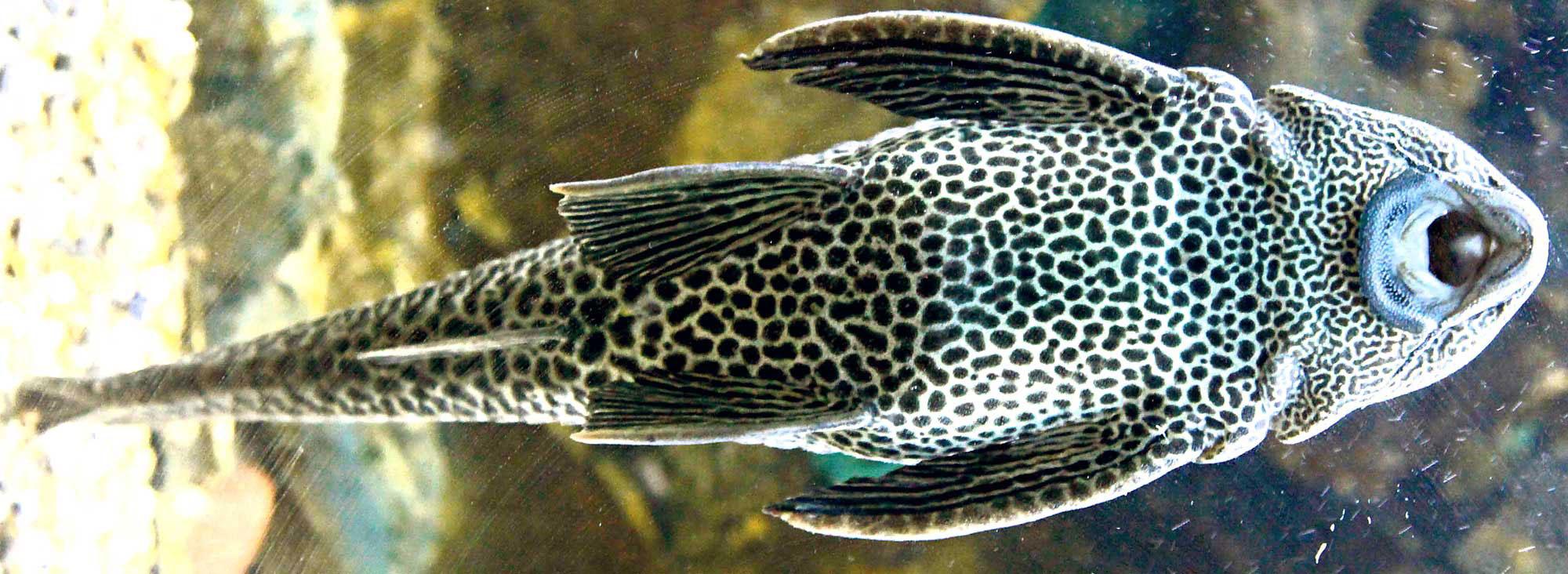 La riqueza de los r os en amenaza planeta el comercio for Especies de peces