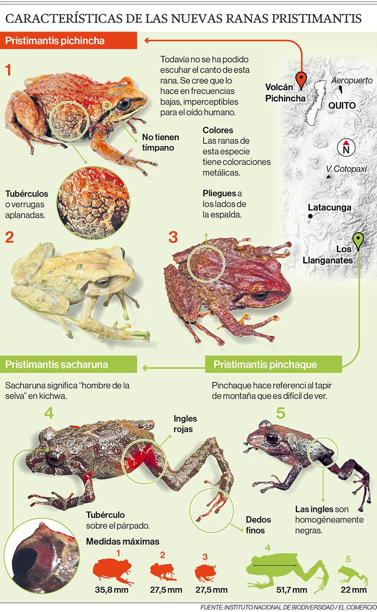 Características de las nuevas ranas pristimantis