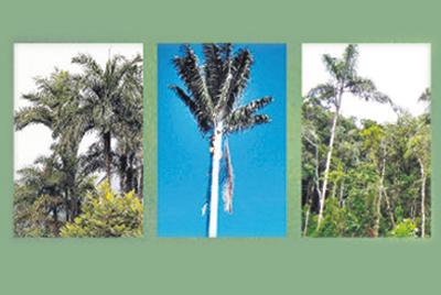 En la palma Echinulatum