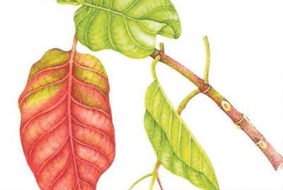 de la corteza de la quina acabó con bosques enteros