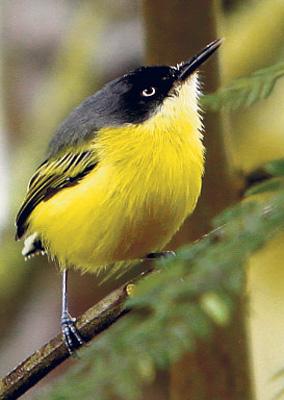 Pájaro Pechiamarillo