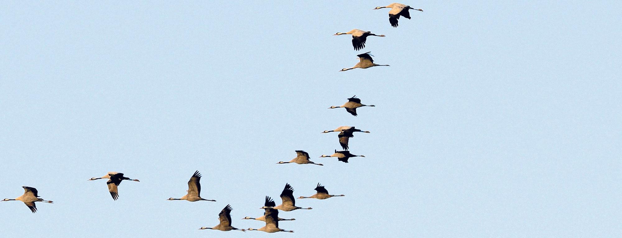 Migración de aves.