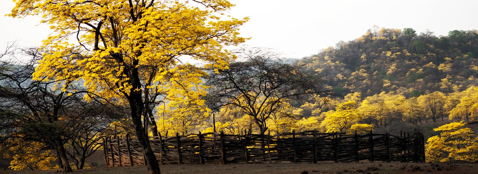 Florecimiento guayacanes