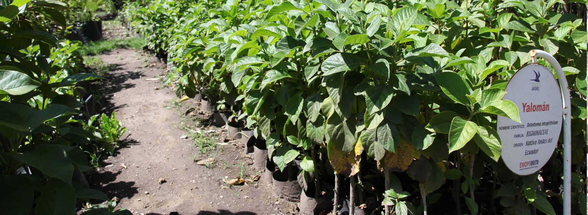 Las especies forestales amenazadas planeta el comercio for Plantas ornamentales del ecuador