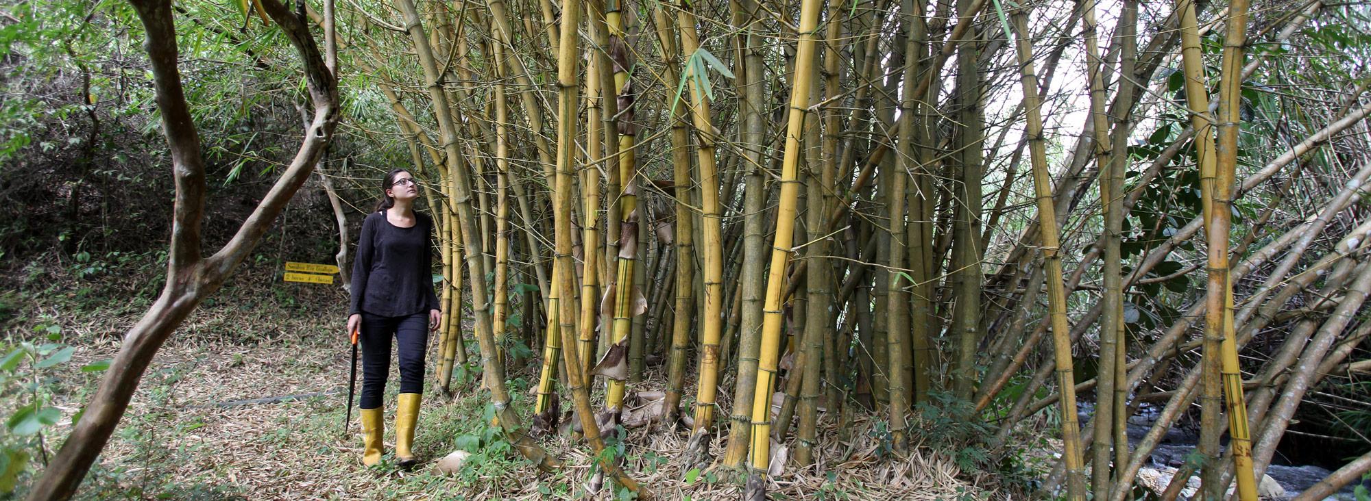 Forestar con bamb es rentable y ecol gico planeta el comercio - Cultivo del bambu ...